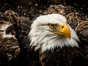 bald-eagle-water-zoo_89536_990x742