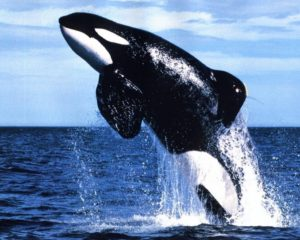 orca-jumping-wallpaper-3